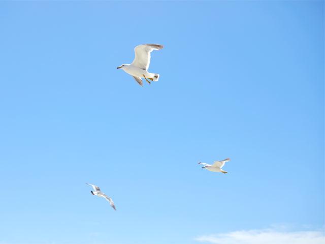 粟島の空を飛び回るカモメ