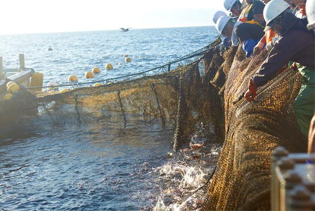 新潟県の粟島での定置網漁