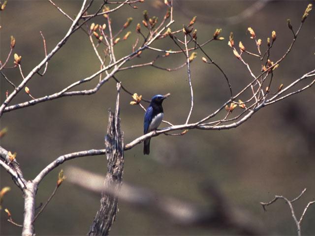 青い鳥のオオルリ