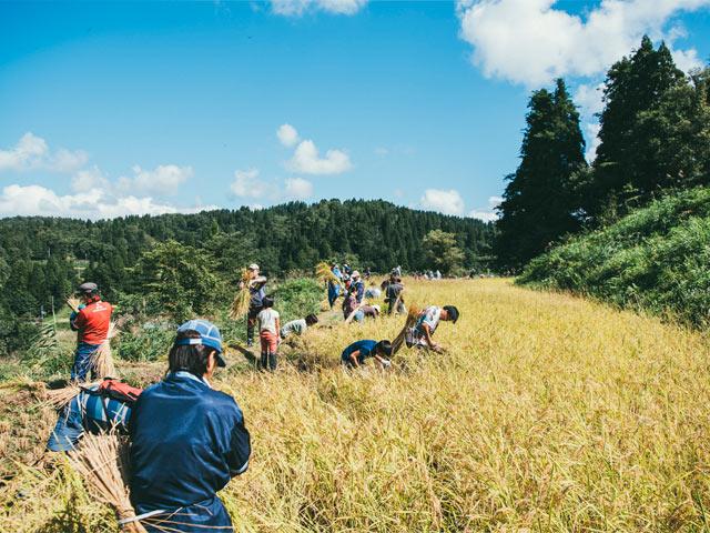 まつだい棚田バンクの稲刈りイベント
