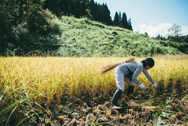 慣れた手つきで稲を刈っていくリピーター参加者