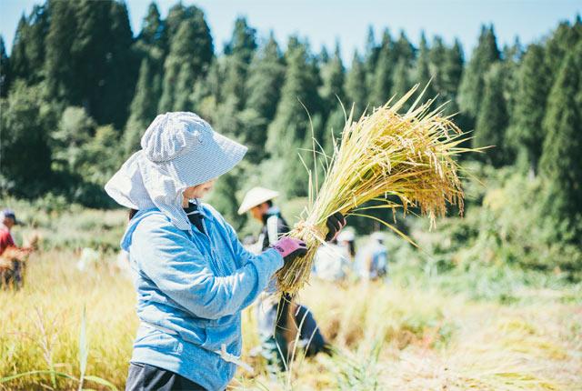 稲をわらでまとめる参加者