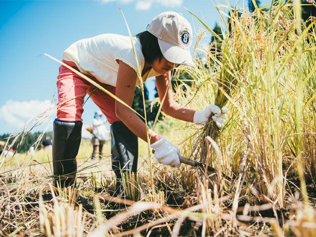 鎌で稲刈りに挑戦中の子ども