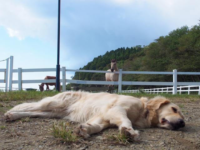 牧場の番犬いろはの寝姿