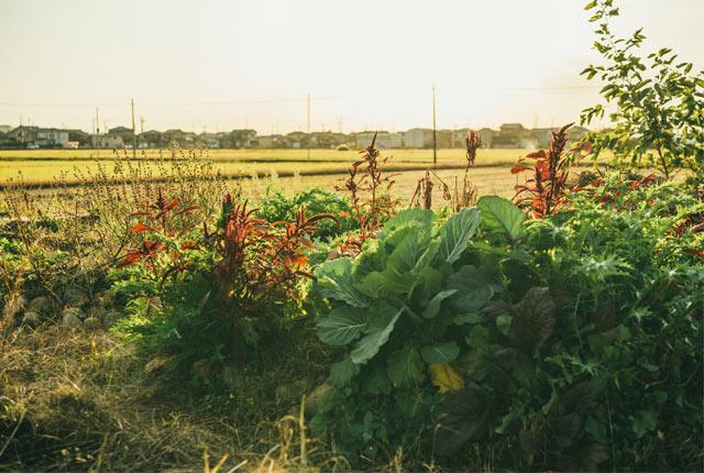 菜園に発生する雑草