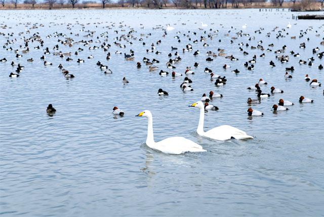 白鳥が飛来する「瓢湖(ひょうこ)」