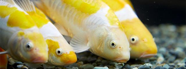 新潟県が開発したばかりの錦鯉「黄白(きじろ)」