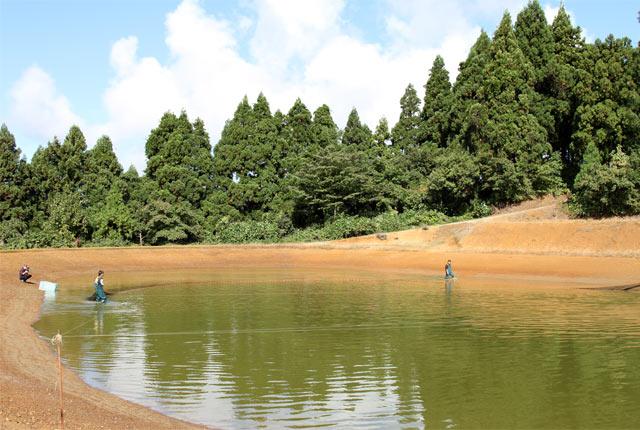 錦鯉を養殖する棚池
