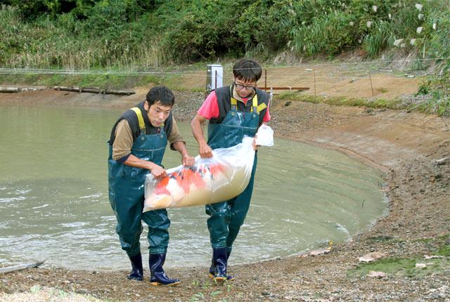 棚池から錦鯉を引き上げる
