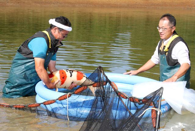 錦鯉の池上げ作業