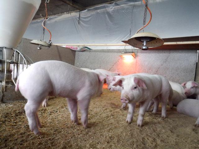 妻有ポークの子豚