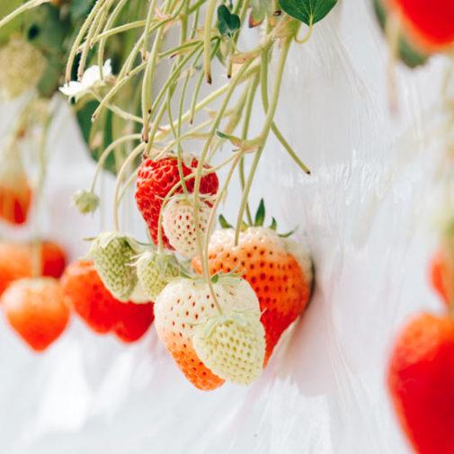 〈Ichi-Rin 苺稟〉のドライいちごで女性ひとりでもできる農業ビジネスを目指して