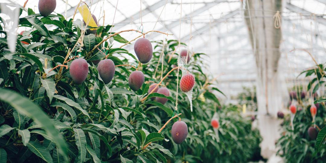 温泉と南魚沼の気候を組み合わせたマンゴー栽培