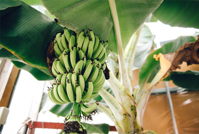 見事に育ったバナナ