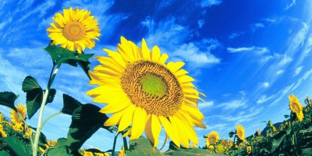 【7/26~8/18】津南町で咲き誇る約50万本のひまわり。近くには癒しの絶景スポットも!