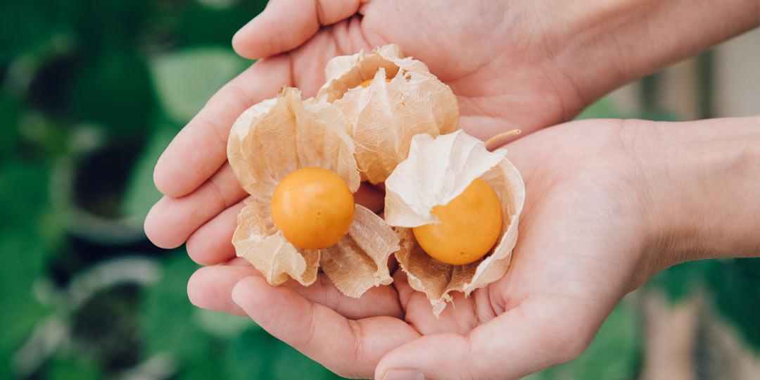 ほおずきって食べられるの!? 注目の「食用ほおずき」が新潟県の妙高でつくられる理由