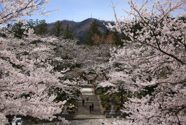 桜の季節の彌彦神社