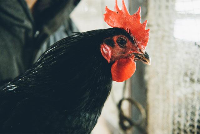 トサカが立派なオス鶏