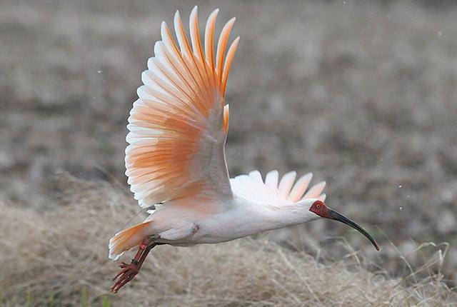 ペリカン目の鳥トキ