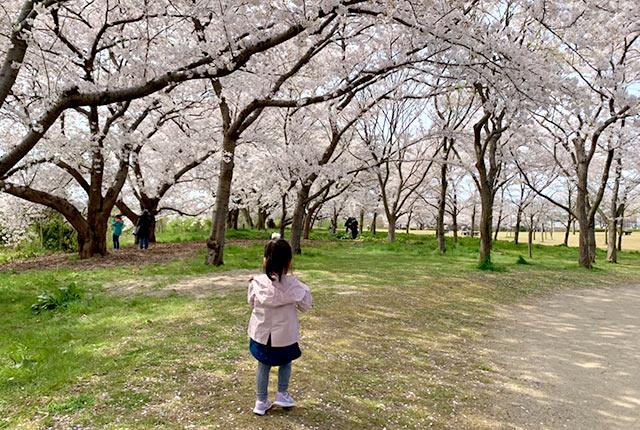 桜が満開の公園で遊ぶ子ども