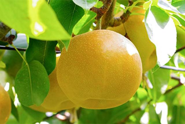 新潟産の梨