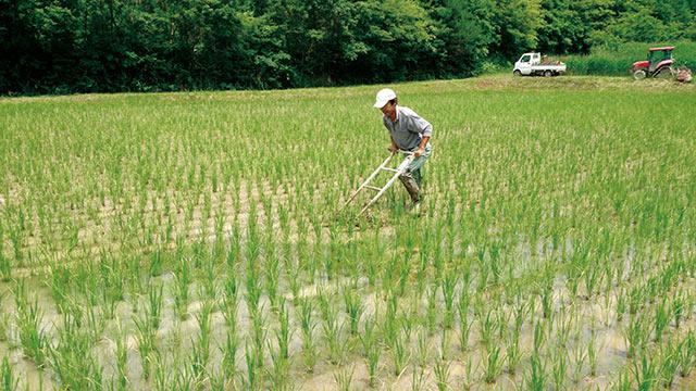 酒米の栽培風景